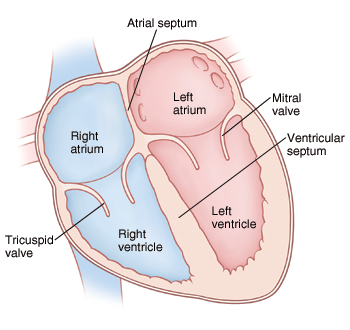 Front view cross section of heart showing atria on top and ventricles on bottom. Mitral valve is between left atrium and left ventricle. Tricuspid valve is between right atrium and right ventricle.